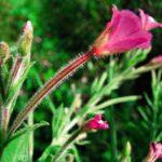 Plantas medicinales para la Próstata